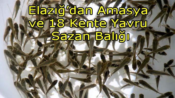 Elazığdan Amasya Dahil 18 Kente 12 milyon Yavru Sazan Balığı Gönderildi