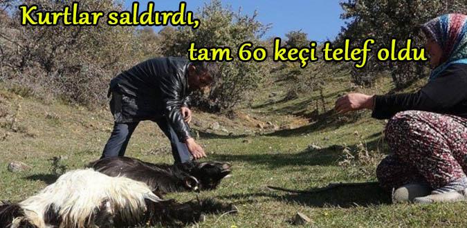 Kurtlar saldırdı, tam 60 keçi telef oldu