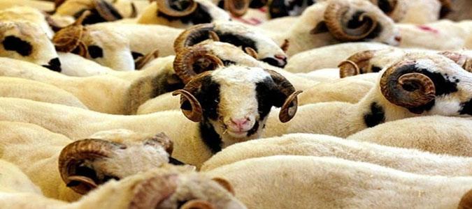 Amasya'daki Kurbanlık Hayvan Sayısı Belli Oldu